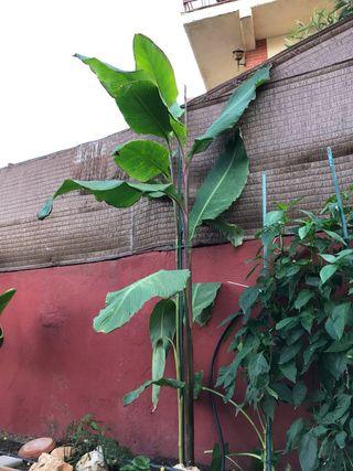 Canna gigante, planta tropical, jardín