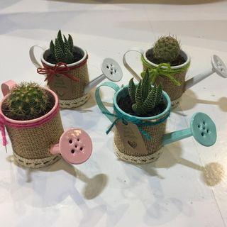 Mini Planta suculenta o cactus natural con cubrema