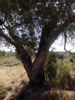 se venden olivos