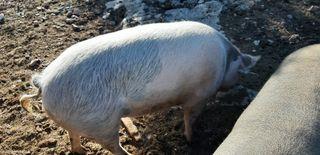 venc porc clapat