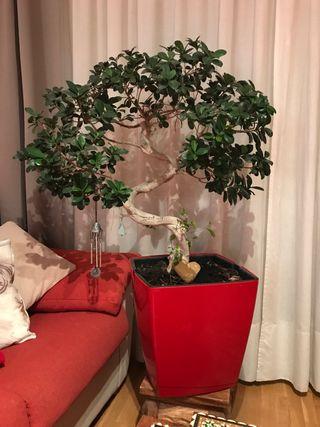 Árbol Ficus estilo bonsai