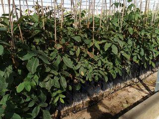 planta de nogal