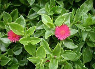 Planta flor colgante tapizante ( Más plantas en mi perfil