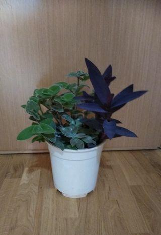 3 Plantas Naturales en 1 Maceta