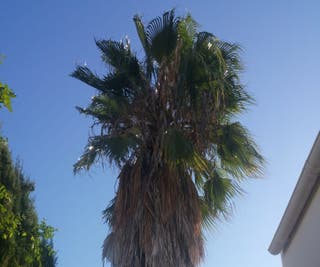 Palmera washingtonia enorme