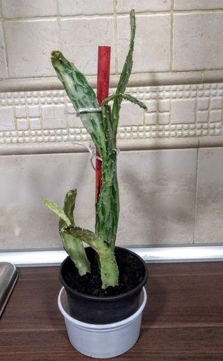 Cactus, planta, flores, jardin