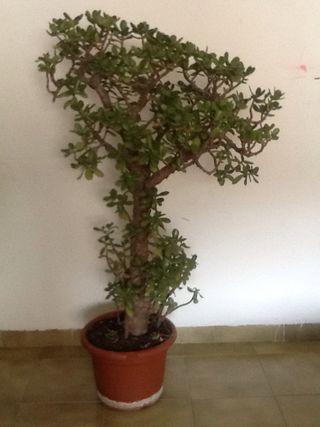 """Planta """"Crassula ovata"""""""