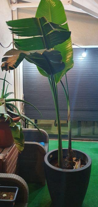 plantas plataneras, jardín