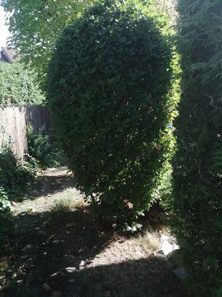 arbusto de hoja perenne grande para jardin.