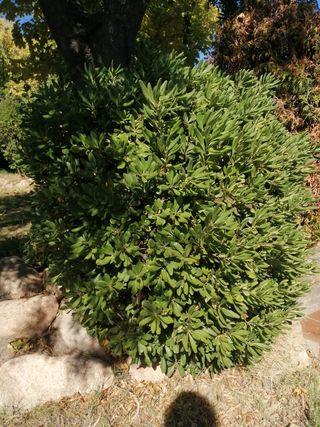 arbusto grande. muy resistente. ideal para jardin