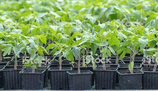 plantulas para huerto