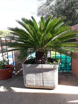 palmera cyca 90 cm