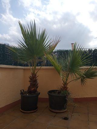 palmeras whasingtonias.