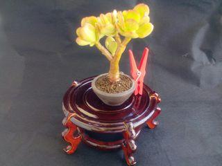 Bonsai Arbol del Jade