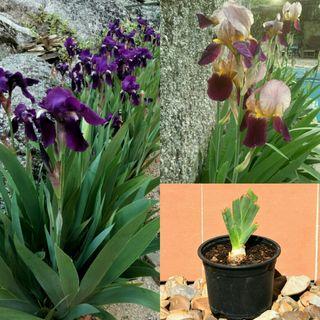 Iris Germanica, mezcla de colores.