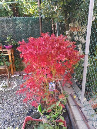 arce Palmatum bonsai