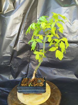 bonsai Acer negundo