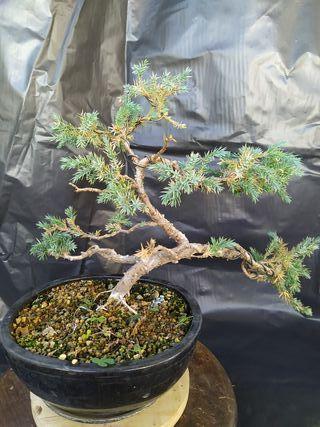 Bonsai juniperus squamata