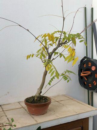 Pre Bonsai Wisteria sinensis - Glicina