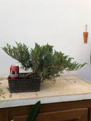Pre bonsai juniperus chinensis itoigawa