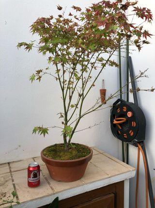 Pre Bonsai acer palmatum
