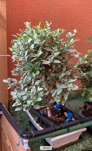 Bonsai ligustrum variagata 12 años