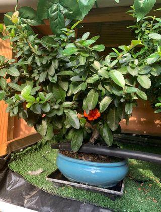 bonsai pyracantha coccinea 10 años