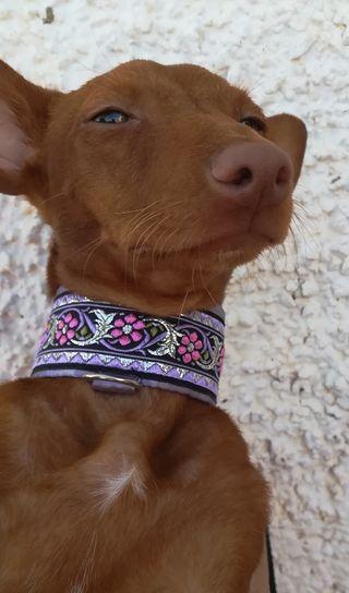 collar perro martingale piccolo