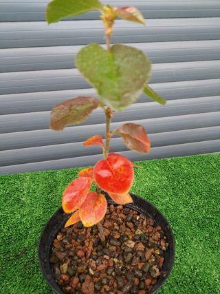 Plantón Pseudocydonia sinensis para bonsái
