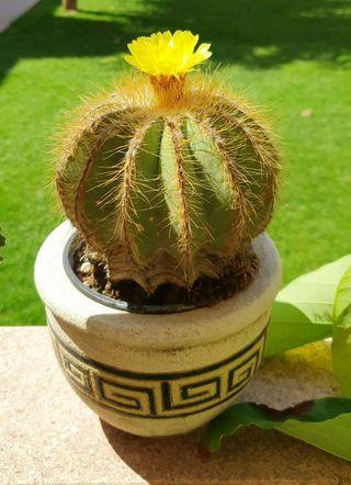 Seleccion Cactus medianos (Más plantas en mi perfil