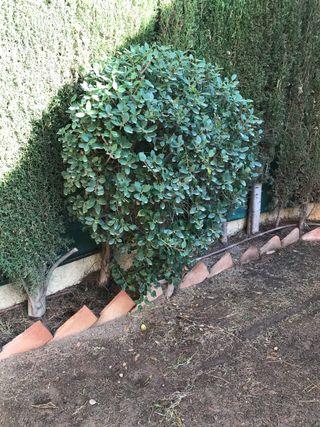 Arbusto natural