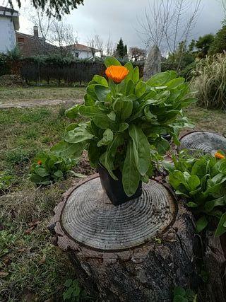 plantas, caléndula