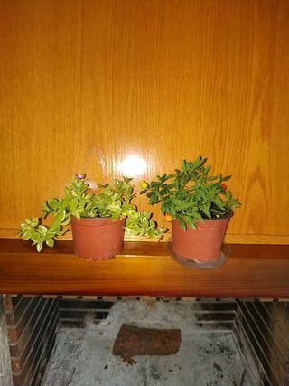 plantas, Naranjito de jardin