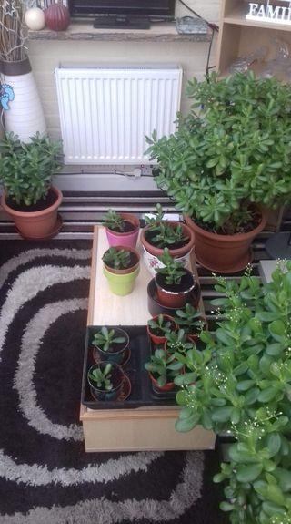 Crassula ovata/jade plant or money plant