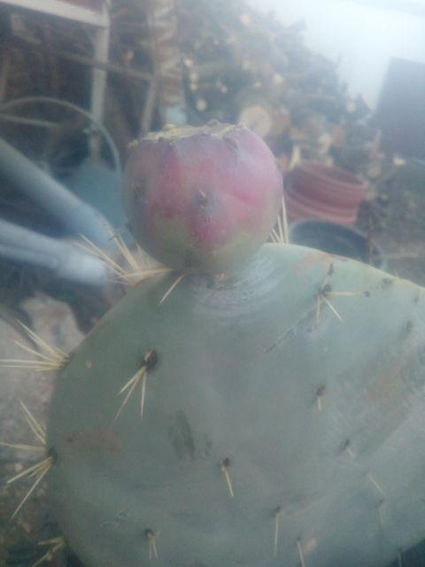 cactus palera