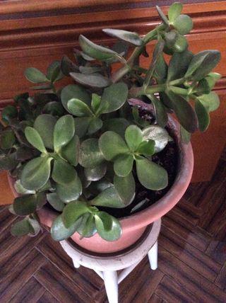 Planta natural (árbol de jade) en maceta grande.
