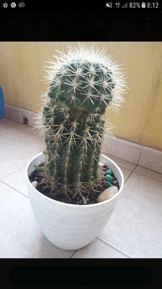 cactus 25cm
