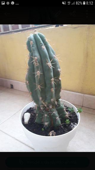 cactus 27cm