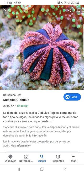 mespillia globulus para acuario marino