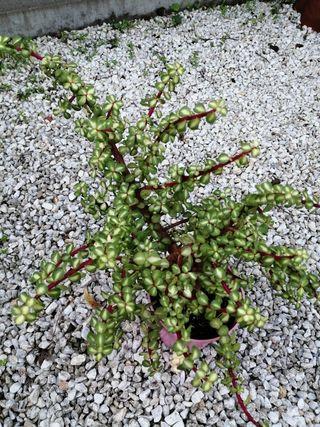 Portulacaria bicolor