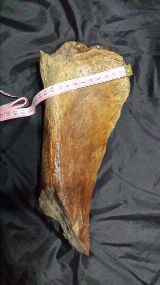 Fósil desconocido de gran tamaño