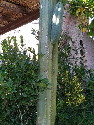 cactus esquejes