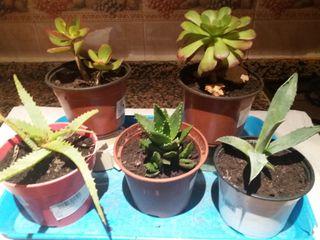 5x12€ plantas crasas