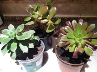 3x9€ plantas crasas 25/30cm