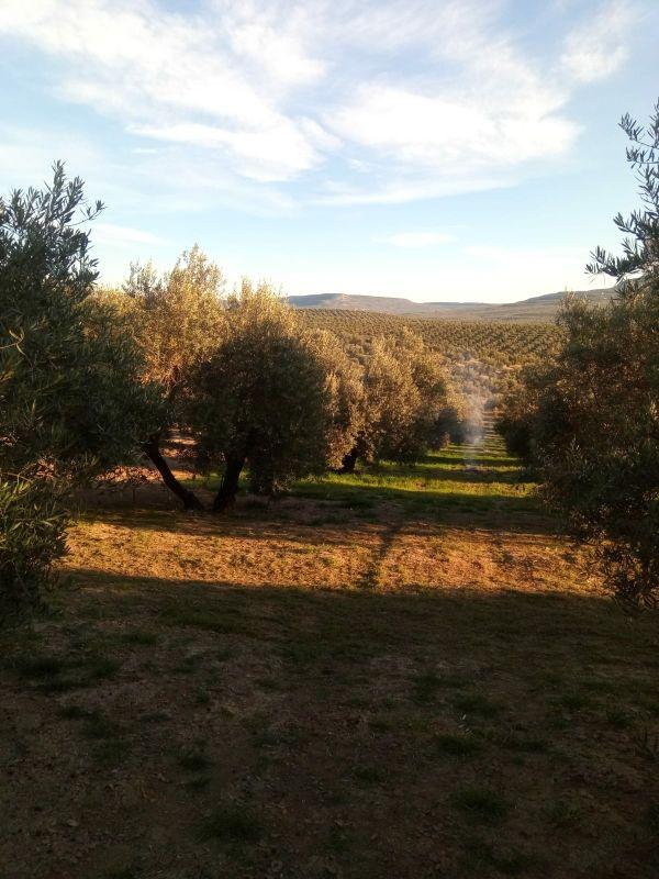 olivar de 49 estacas