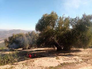 olivar de 30 olivas