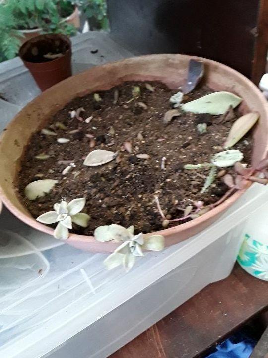 succulents plantes grasses 2 pousses