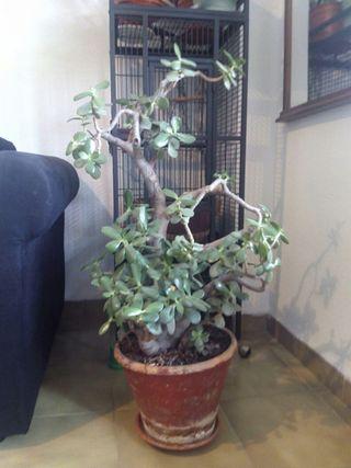 """Planta suculenta """"Crassula ovata"""""""