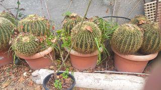 cactus grandes