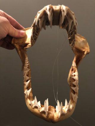 Dentadura de tiburón